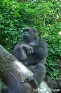 BronxZooGorilla 199x300 New York Staycation   Its all happening at the zoo