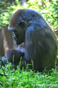 BronxZooGorilla2 199x300 New York Staycation   Its all happening at the zoo